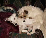 image of two Jack Russell Terriers piled together napping on a sofa.