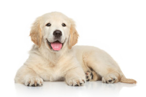 Image of Migo the Golden Retriever puppy in training for Therapuetic work