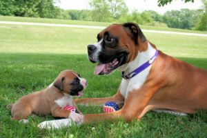 Image of a Boxer Terrier puppy with her adult Boxer Terrier mother. How to adopt a puppy.
