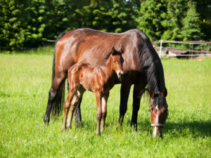 Image of a young foal with their mare.