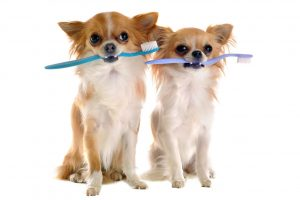 Image of Chihuahuas with toothbrushes