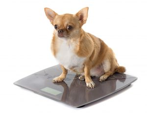 Image of a Chihuahua dog on a weight scale.